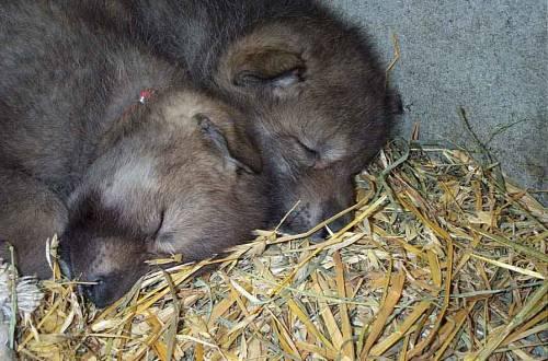 b2ap3_thumbnail_wolfsleeping.jpg